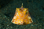 Young Boxfish swimming near the sandy bottom Sulawesi (Boxfish)