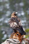 Golden Eagle landed on a dead Red Fox  Lawnes Flatanger (Golden Eagle)