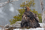 Golden Eagle eating a Mountain Hare under rain Norway (Golden Eagle)