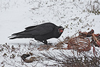 Common Raven feeding on a corpse Norway (Common Raven)