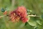 Bedeguar gall wasp on a sweetbriar in a garden (wasp)