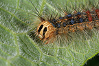 Lackey's caterpillar on a leaf