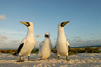A family of Masked Booby on the island Huon New Caledonia (Masked Booby)
