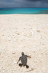 Baby green turtle reaching the sea on the island of Huon (Green sea turtle)