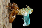 Moulting of larva of cicada in a garden