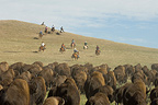 Cowboy pushing herd at Bison Roundup Custer State Park (Horse)