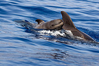 A very young Short finned pilot whale and adult Canary Islan (Short-finned pilot whale )