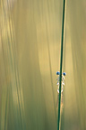A Damselfly hung from a rod