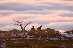 Chamois at sunrise Hohneck Massif  Vosges France (Chamois)