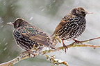 Common Starlings under the snow Lorraine France (Common Starlings)