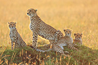 Cheetah female and young at sunset Masai Mara�Kenya (Cheetah)