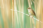Eurasian Reed-warbler in a reed bed along the pond (Eurasian Reed Warbler)