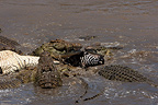 Nile Crocodiles eating a prey in the water Masai Mara� (Nile crocodile)