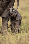 African Elephant and young Masai Mara Reserve Kenya (African elephant)