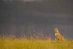 Cheetah sitting in the Savannah Masai Mara Reserve Kenya (Cheetah)