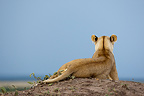 Lioness lying on a mound Reserve Masai Mara Kenya� (African lion)