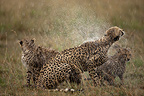 Cheetahs in the rain in the Savannah Masai Mara Kenya� (Cheetah)