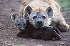 Spotted hyena and young lying at den Masai Mara Kenya  (Spotted Hyena)