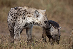 Spotted hyena and young in grass Masai Mara Kenya� (Spotted Hyena)