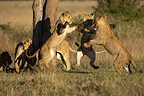 Lionesses playing in the Savannah Masai Mara Reserve Kenya  (African lion)