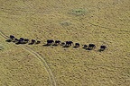 Aerial view of African elephants in the savanna Masai Mara (African elephant)