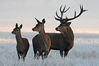Stag Red deer & two hinds in frozen meadow Great Britain (Red deer)
