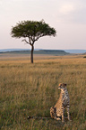 Cheetah sitting in the Savannah, Masai Mara Reserve, Kenya