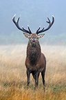 Male Red deer in a frozen meadow Great Britain (Red deer)