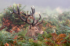 Male Red deer in the ferns Great Britain (Red deer)