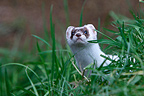 Ermine walking in grass Great Britain (Ermine)