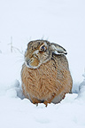 European hare sitting in snow Great Britain (European Hare )