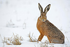 European hare in a meadow covered with snow Great Britain (European Hare )