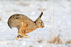 European hare running in snow Great Britain (European Hare )