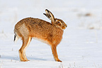 European hare stretching itself in snow Great Britain (European Hare )