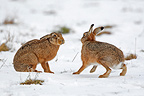 Two European hares face to face in the snow Great Britain (European Hare )