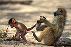 Yellow Baboon holding the tail of a young Botswana  (Yellow baboon )