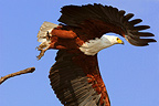 African Fish-eagle flying Okavango Delta Botswana� (African Fish Eagle)