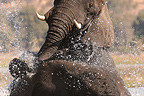 African Elephant mating in water Botswana  (African elephant)