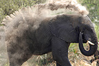 African elephant taking a dust bath Botswana  (African elephant)