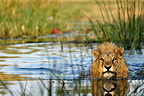 Lion across the Khwai river to swim Moremi Botswana  (African lion)