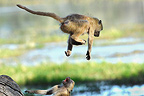 Young Yellow Baboons playing Botswana  (Yellow baboon )
