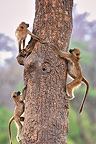 Young Yellow Baboons playing on a trunk Botswana� (Yellow baboon )
