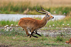 Red Lechwe buck running on the bank Botswana (Red Lechwe)