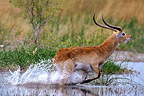 Red Lechwe buck running on water Botswana (Red Lechwe)