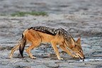 Black-faced Jackal drinking Okavango Delta Botswana  (Back-backed jackal)