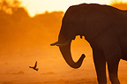 Silhouette of African elephants at dusk Botswana� (African elephant)