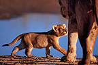 Lion Cub walking and watching her mother Tanzania  (African lion)