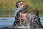 Hippopotamuses males fighting in the water Okavango Botswana (Hippopotamus)