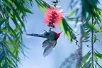 Crimson Sunbird under a flower Royal Bardia Nepal (Crimson Sunbird)