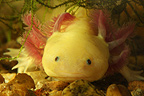 Portrait of Axolotl in an aquarium